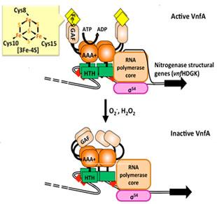 窒素固定酵素の性質を遺伝子のレ...